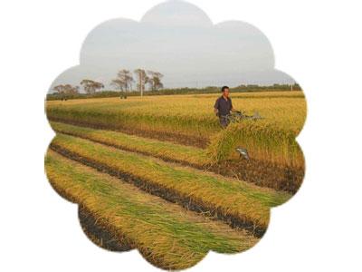 4K-50 Rice/Wheat Reaper-binder